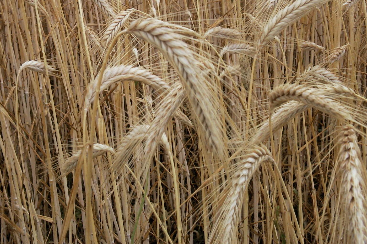 Cultiver de l 39 orge chambre d 39 agriculture haute vienne - Chambre d agriculture haute vienne ...